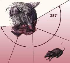 l'oeil, la vue et la vision des chats le champ visuel de chats